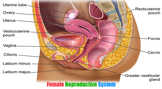 Female Reproductive System in Hindi with Images