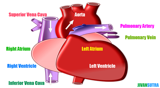 Incredible Facts about Human Heart in Hindi