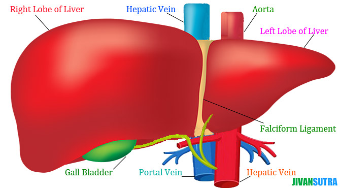 Liver Meaning and Facts in Hindi