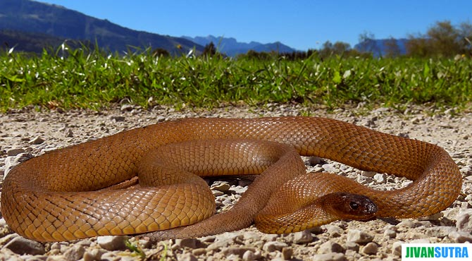 Most Venomous Snakes in The World in Hindi