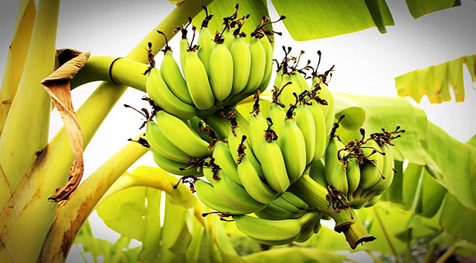 Incredible Health Benefits of Banana in Hindi
