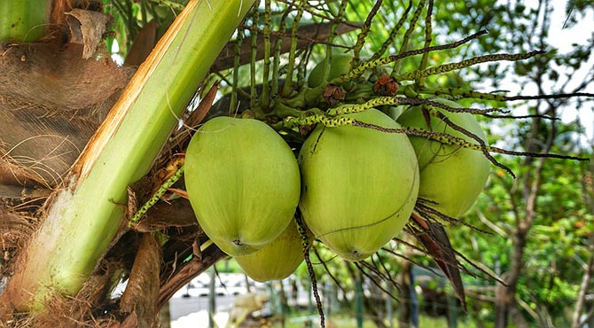Coconut Water, Oil and Milk Benefits in Hindi