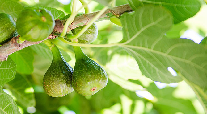 Essential Health Benefits of Figs in Hindi