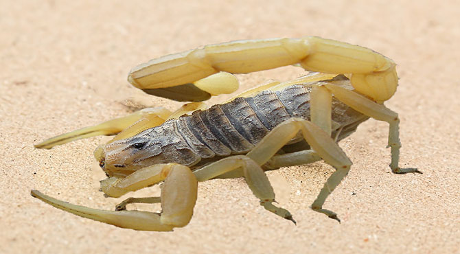 Most Dangerous Scorpions in The World in Hindi